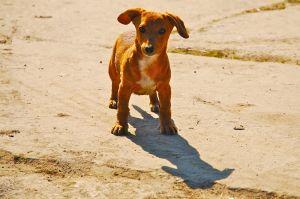 1171402_dachshund
